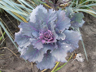 Ornamental Cabbage (Brassica oleracea)